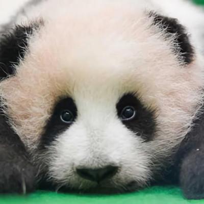 很可爱的熊猫微信头像